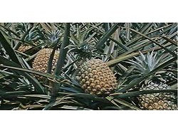 pineapple-ananas-comosus-250x250
